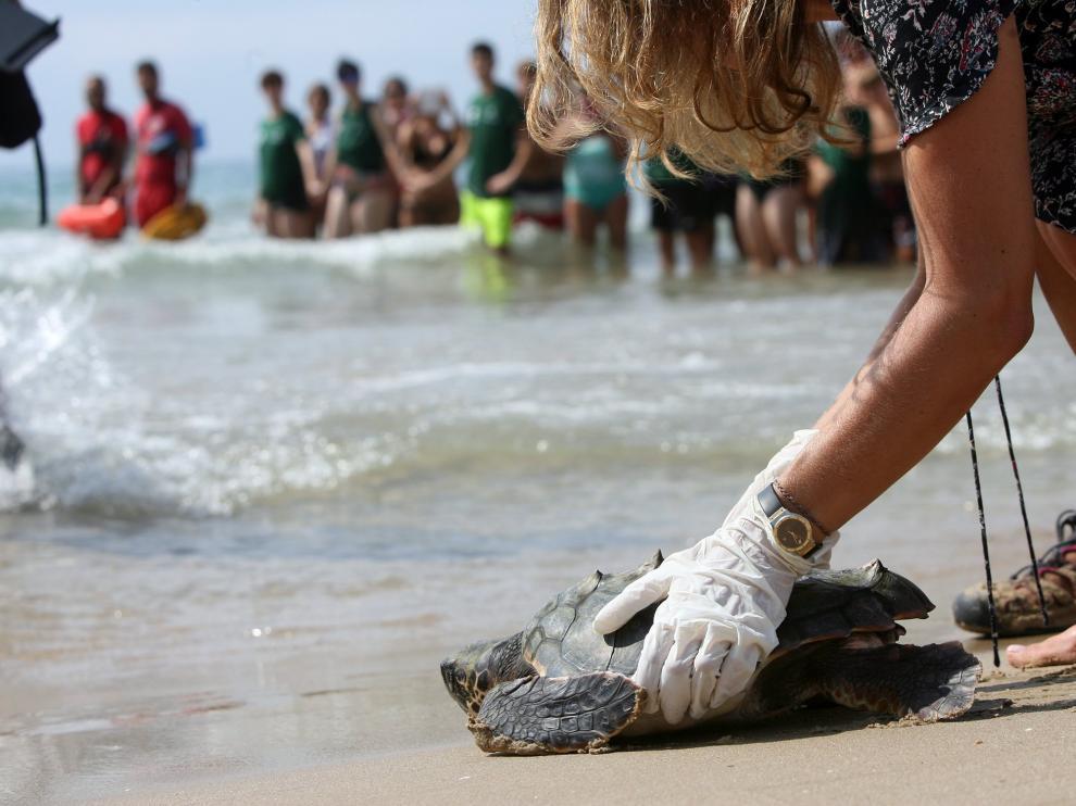 Una bióloga devuelve al mar a una de las tortugas marinas halladas en la playa Llarga de Tarragona.