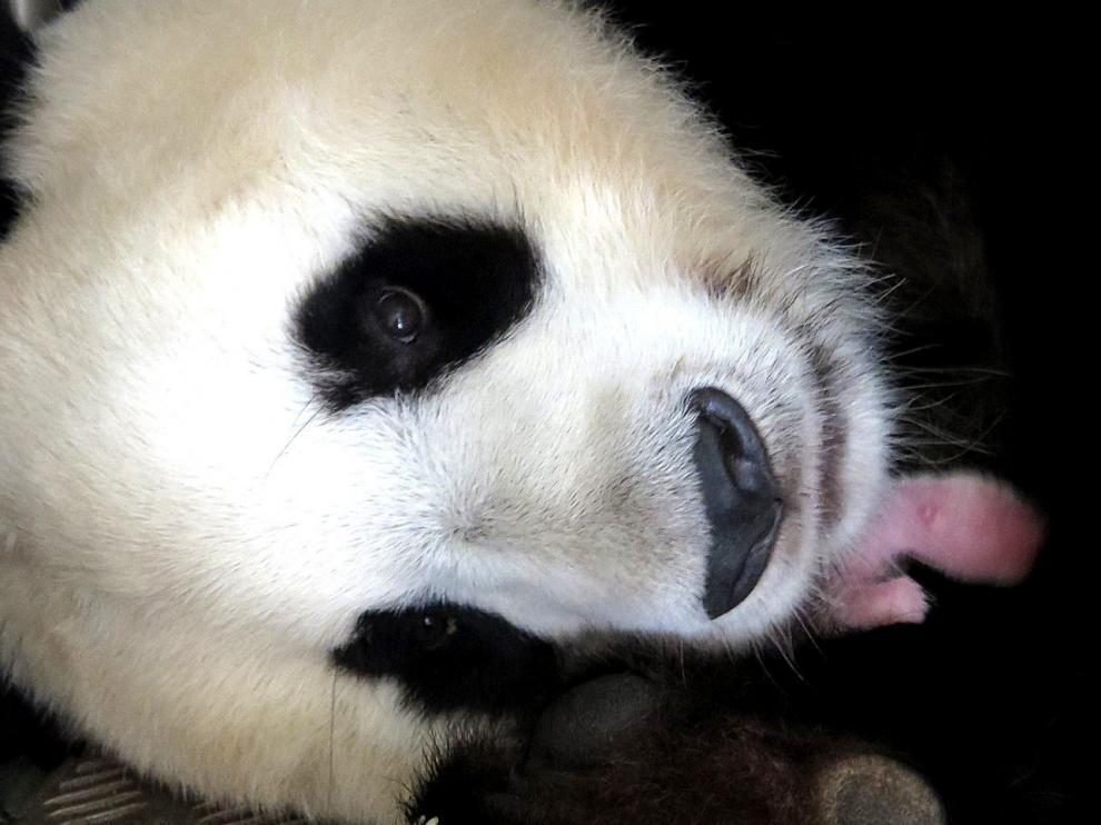 La oso panda gigante abraza a su cría, en el zoo Aquarium de Madrid.