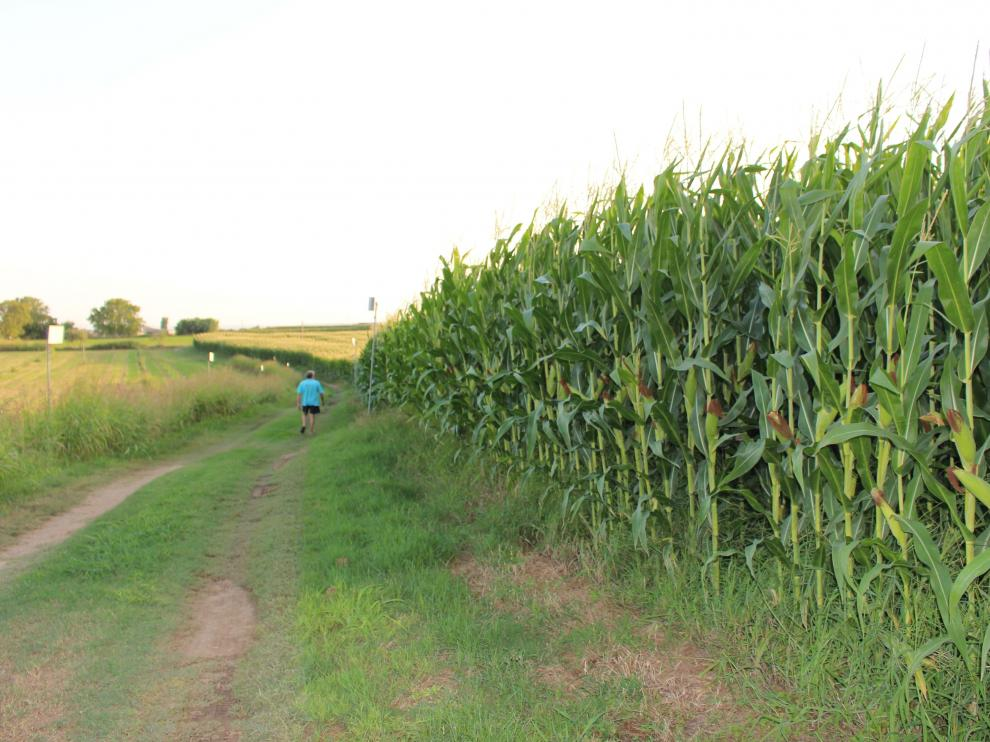Explotación de maíz de segunda cosecha en Binéfar en proceso de formación del grano, del que depende la disponibilidad de agua.