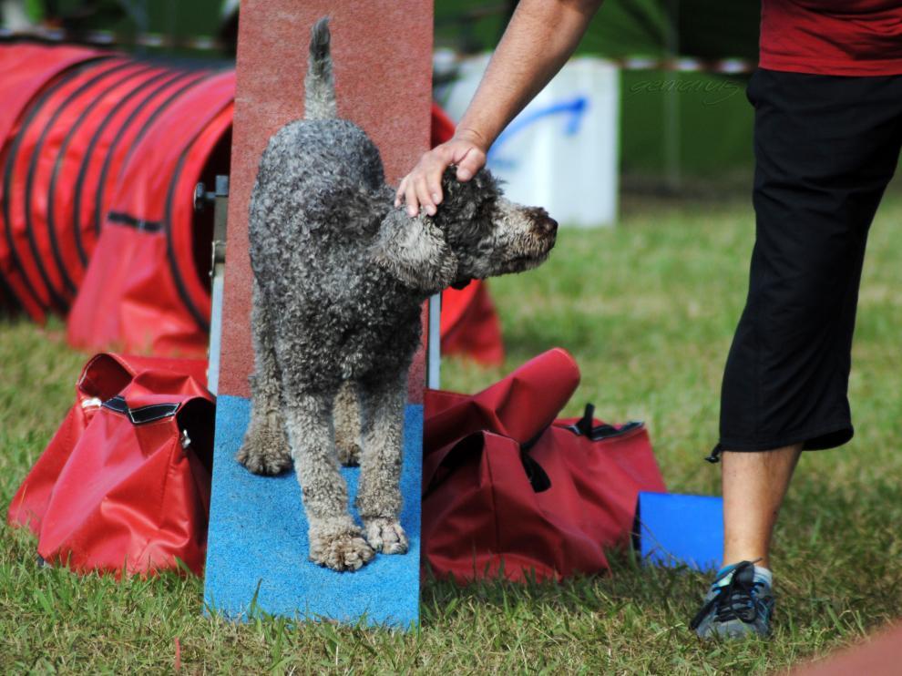 Perro de aguas premiado después de un balancín correcto.