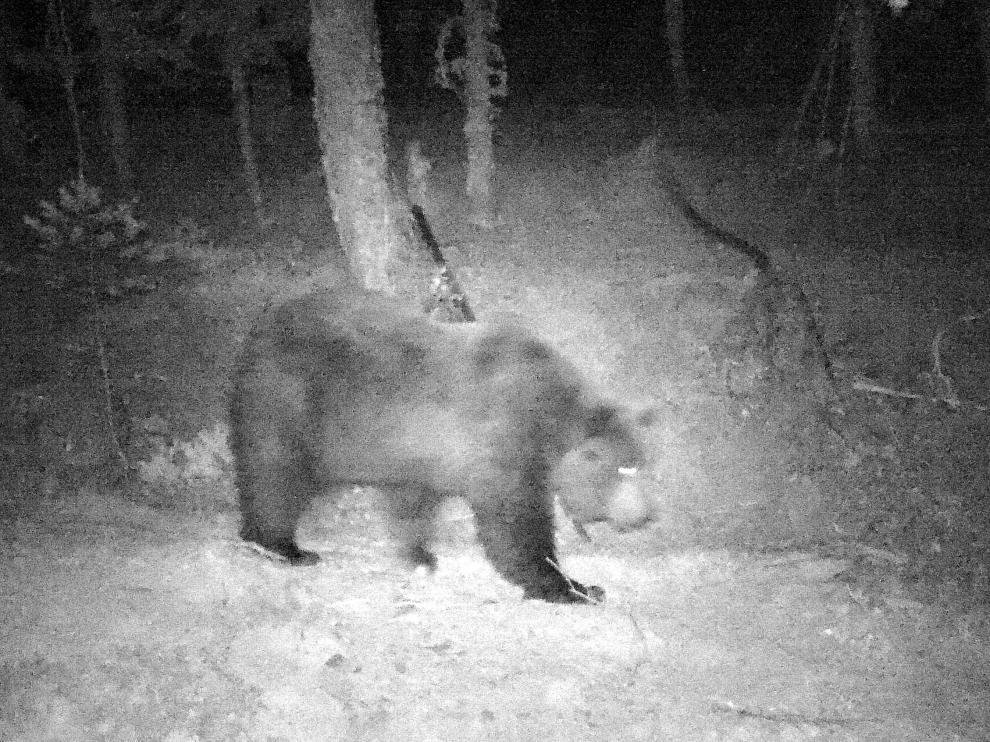 El oso Neré dando un paseo por la noche.