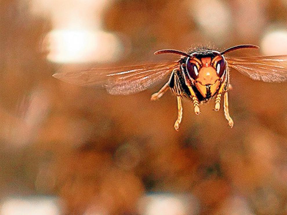 Un ejemplar de Vespa Velutina Nigrithorax o avispa asiática.