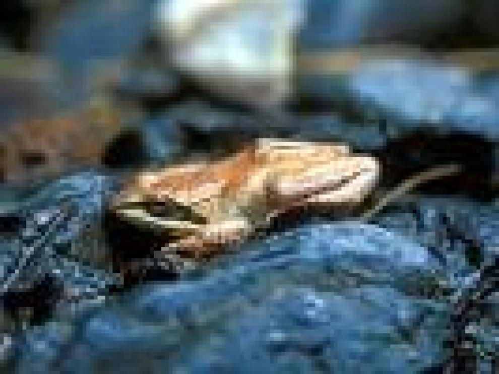 La rana pirenaica está catalogada como especie amenazada en Aragón.