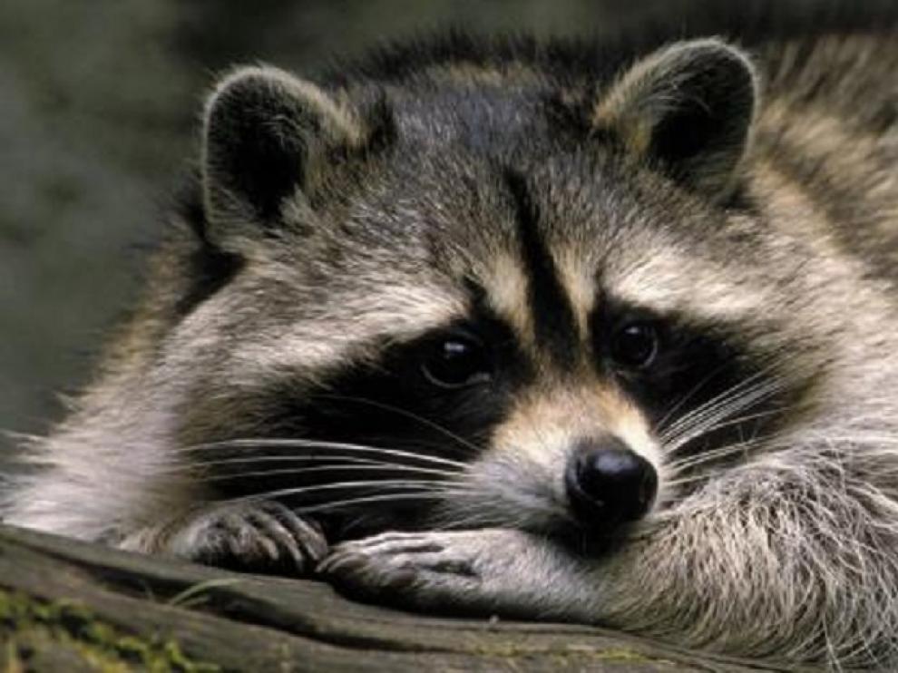 Imagen de archivo de un mapache.