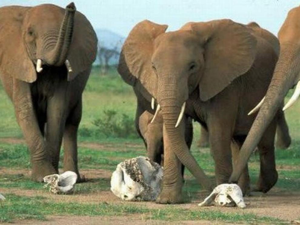 Los elefantes reconocen y reaccionan ante el cráneo y los colmillos de otro elefante.