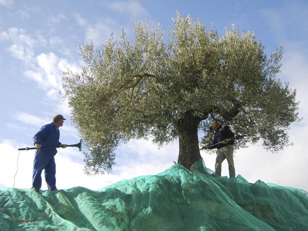 Dos agricultores del Somontano varean un olivo para que caiga el fruto.