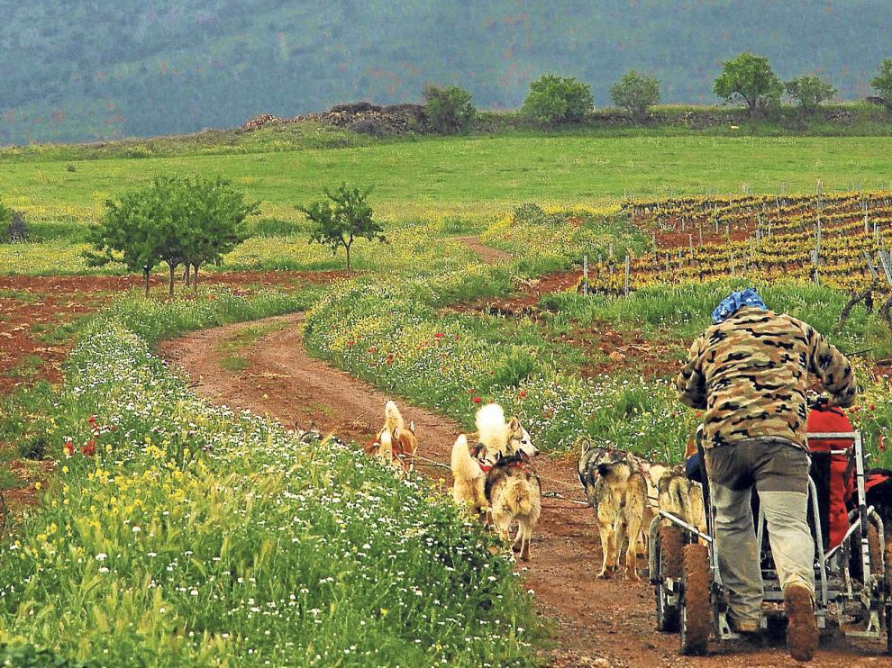 El mushing, un tipo de transporte tirado por perros, ha cambiado los esquís por ruedas para pasear entre los viñedos.