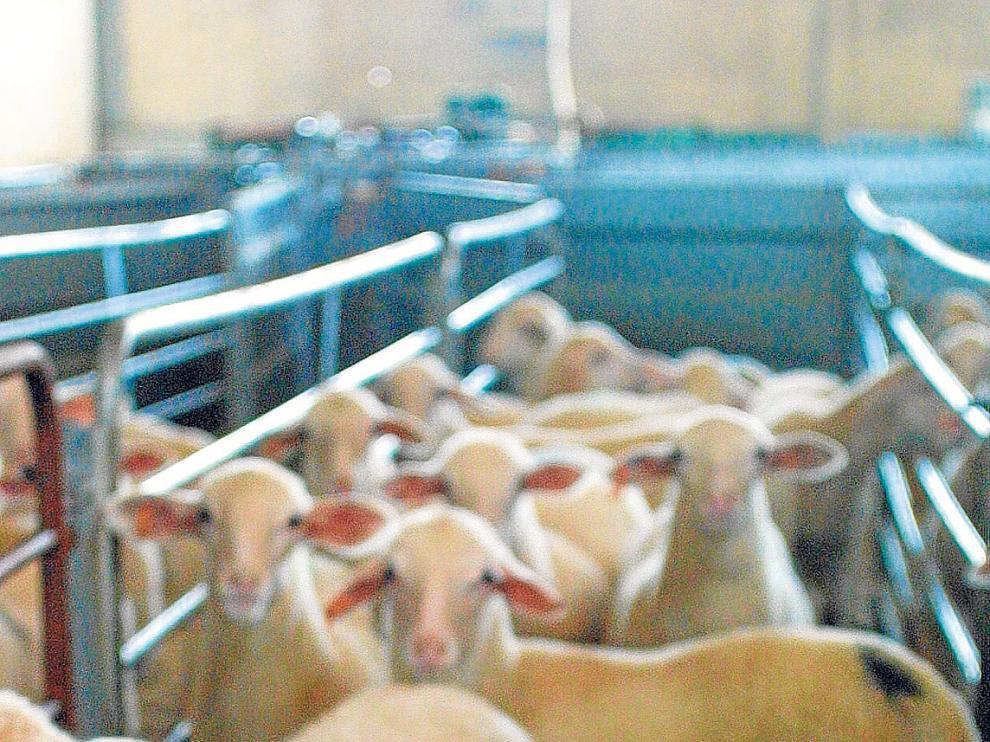 Ejemplares de ovino en una explotación ganadera de Teruel.