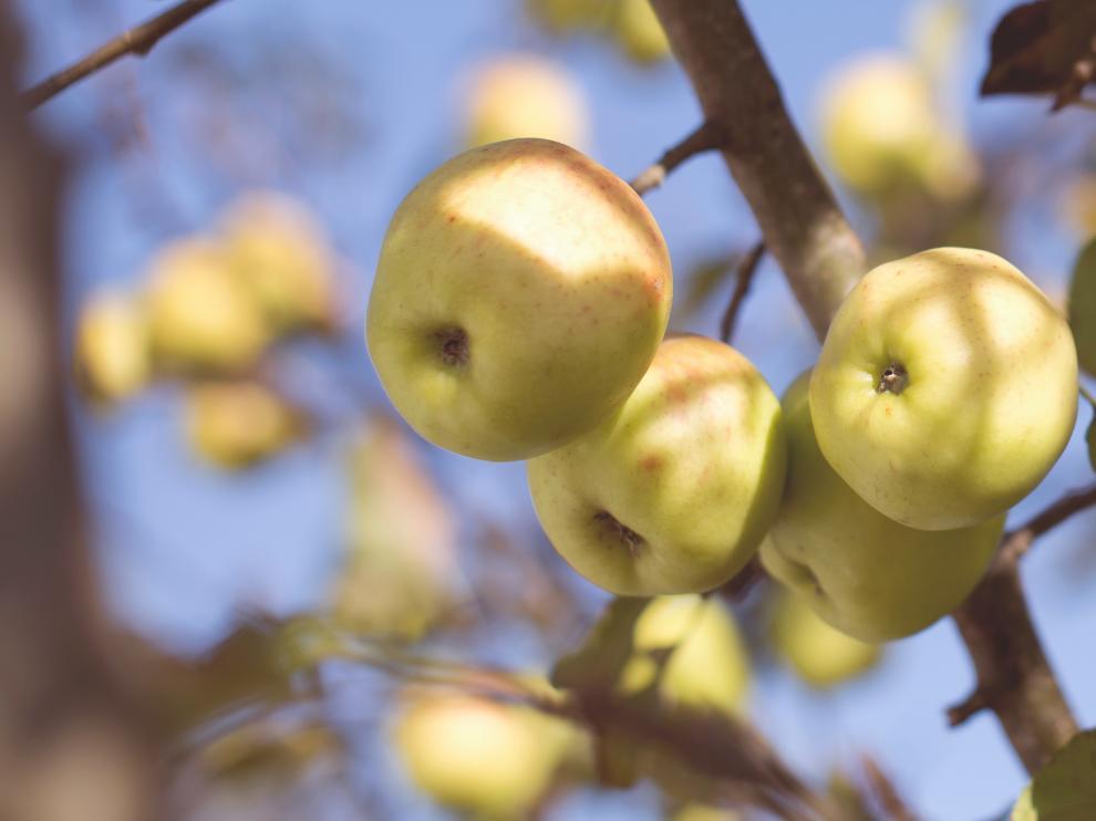 Una manzana al día tiene numerosos beneficios para la salud.