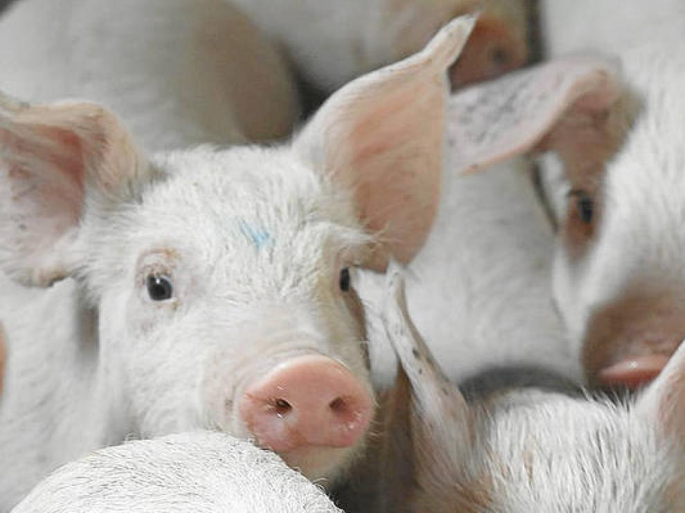 El ganado porcino es cada vez más líder en Aragón