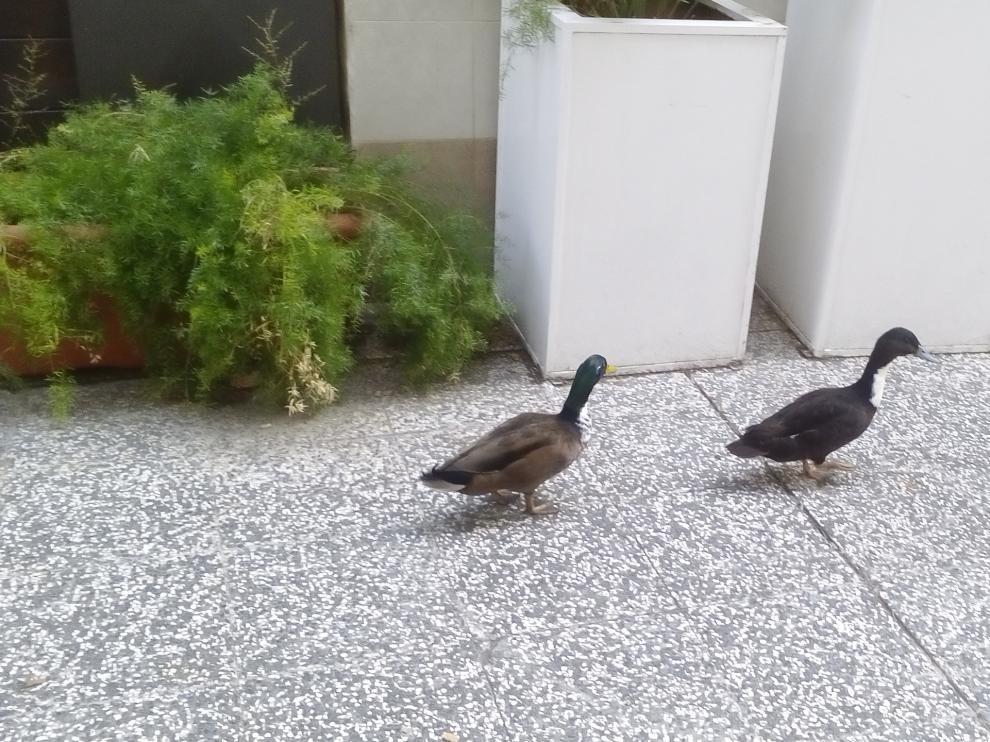 Los patos por el Coso de Zaragoza