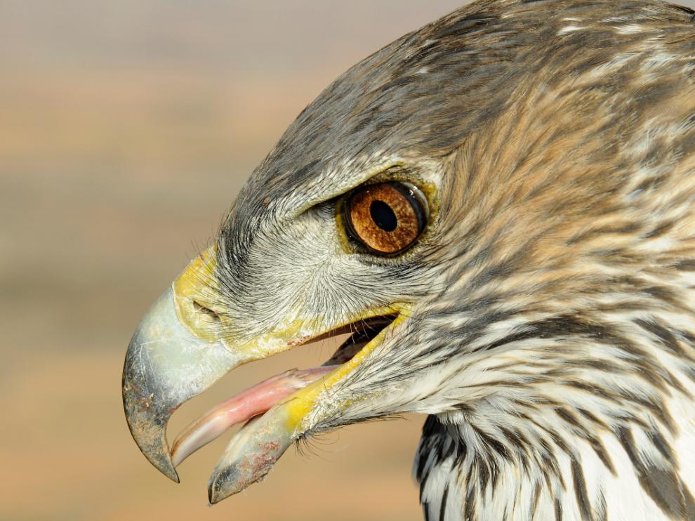 Tonda, el águila perdicera que reinaba en Aragón y fue a morir a Soria.
