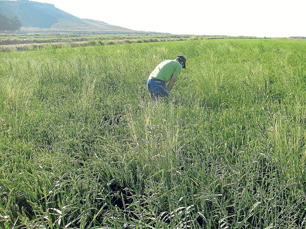 Los investigadores realizan prospecciones para cuantificar las infestaciones de malas hierbas.