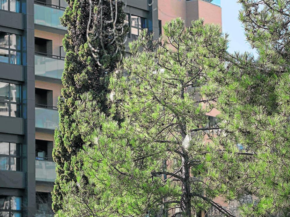 Nidos de procesionaria en uno de los árboles del barrio de Las Fuentes.