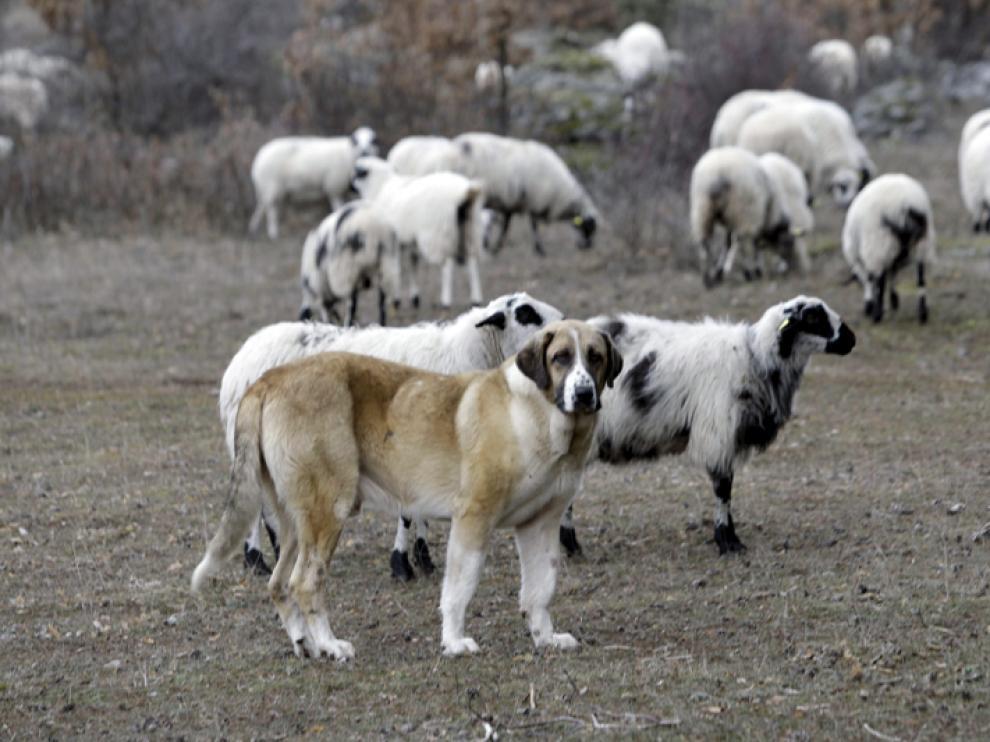Perro pastor junto a un rebaño de ovejas que sufrió un ataque reciente de lobos en la provincia soriana.