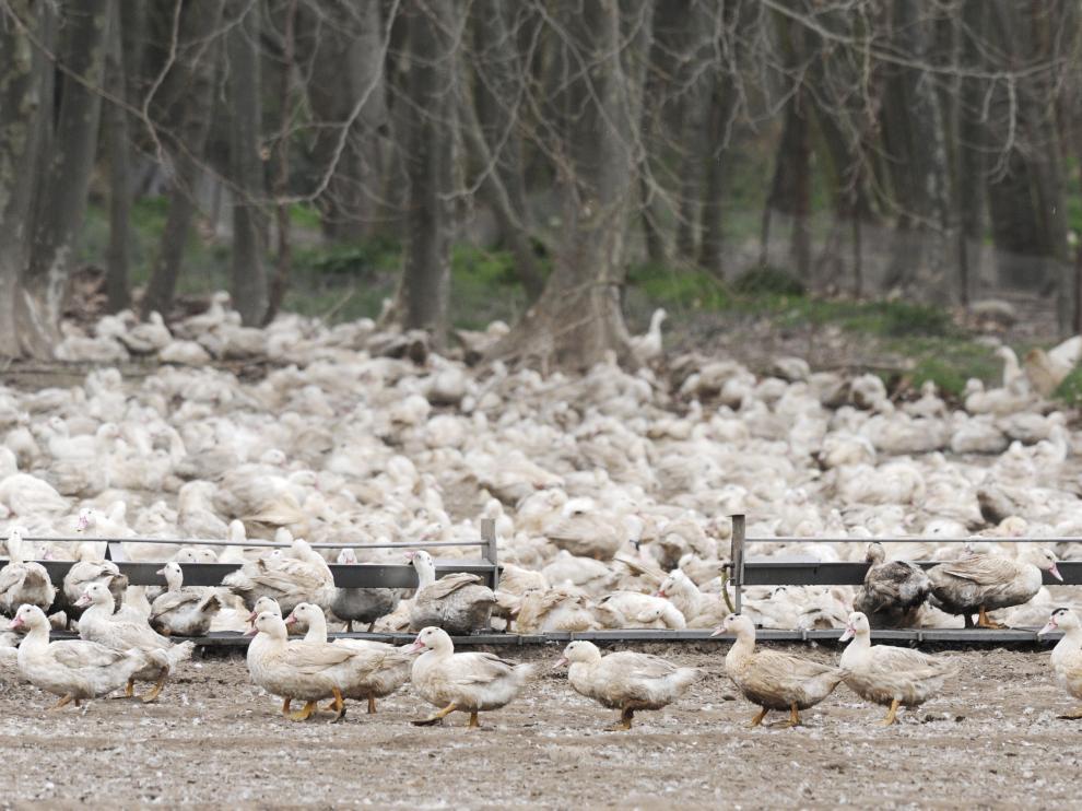 Patos en una de las granjas afectadas en Gerona.