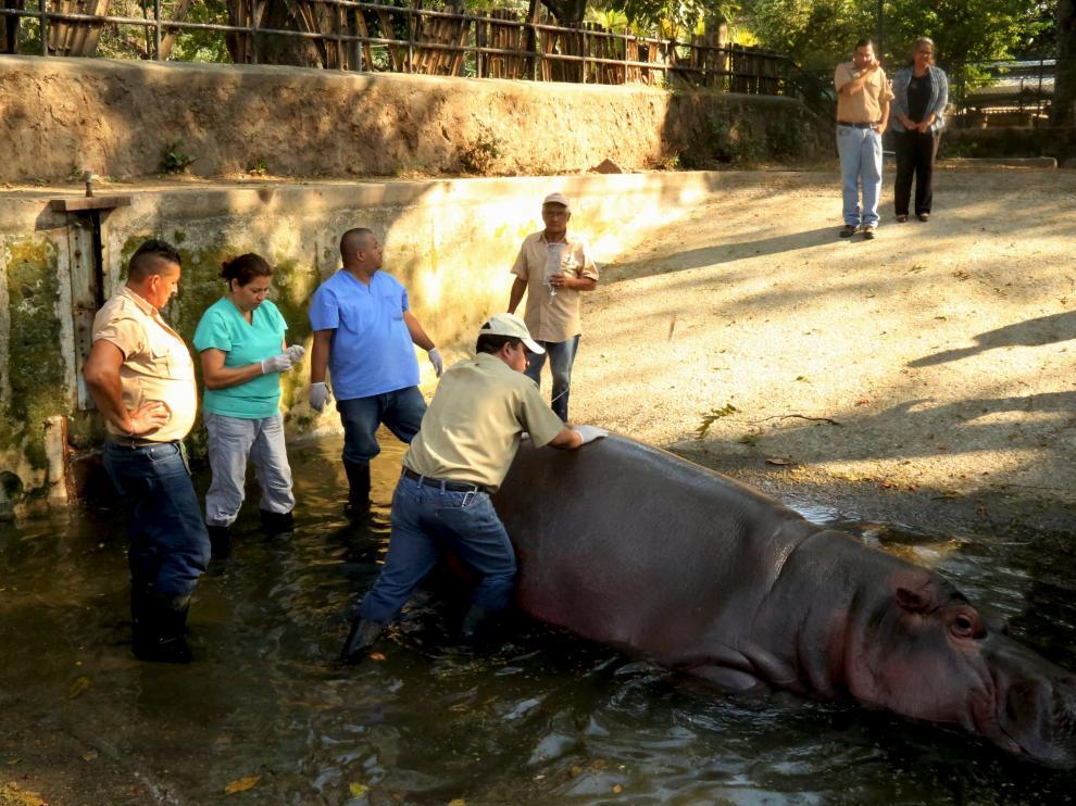 El hipopótamo Gustavito en una imagen de archivo.