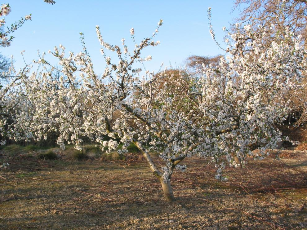 Almendros en flor cerca de Malón, en el monte de Valcardera