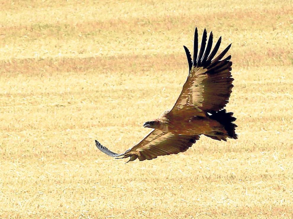 Un ejemplar de buitre leonado sobrevuela la provincia de Soria.