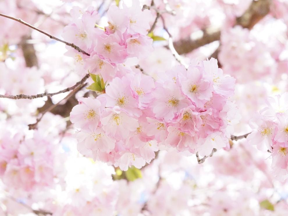 Los cerezos en flor, grandes protagonistas del 'hanami'.