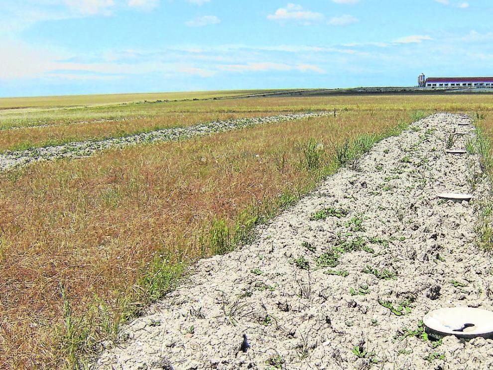 Plantación de retamas como refugio para avifauna en ribazos entre parcelas o en el borde de caminos.