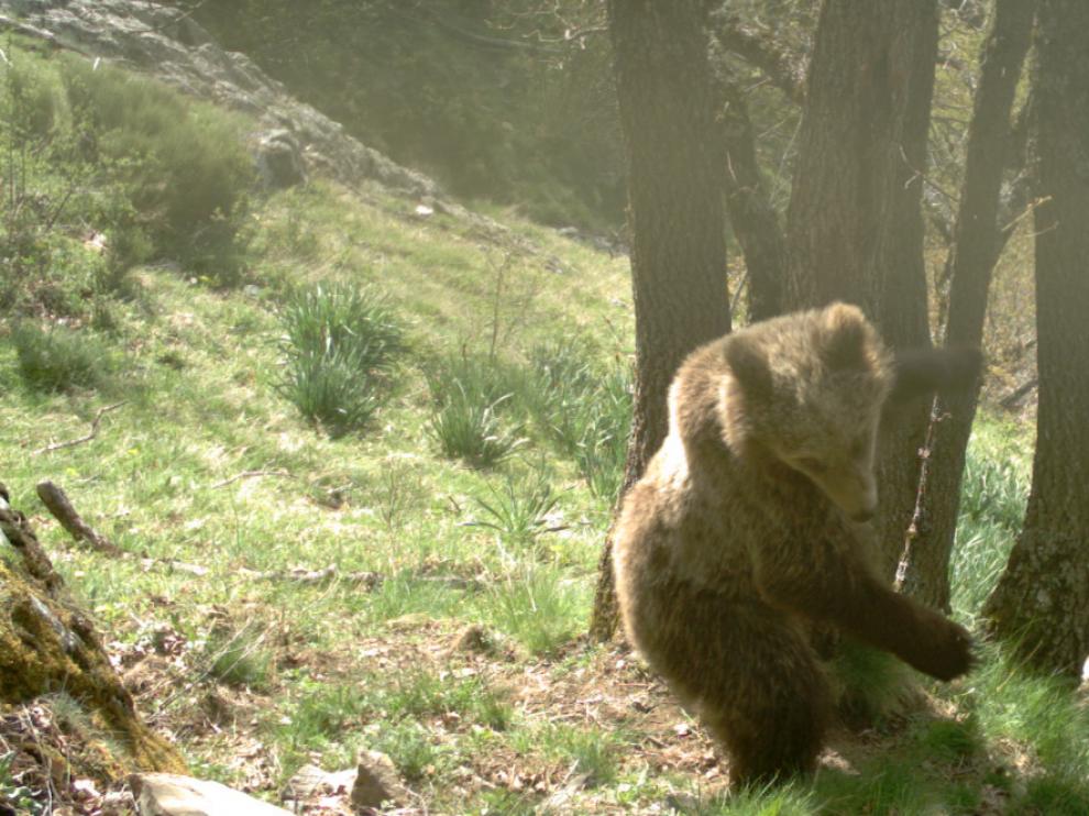 Un oso captado por una cámara en una zona del Pirineo catalán.