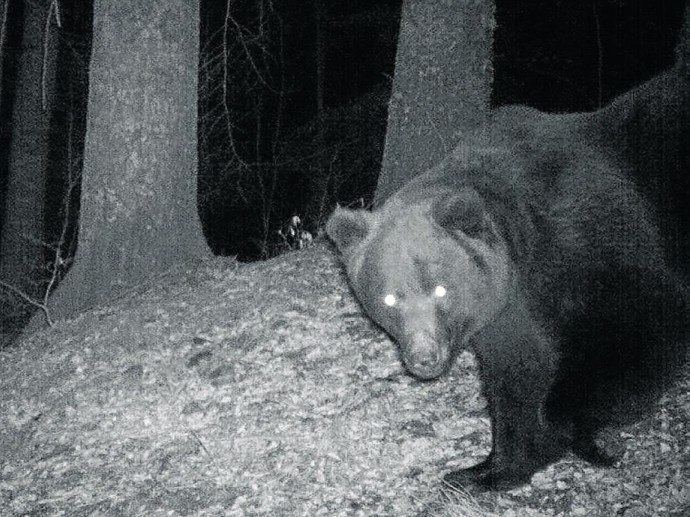 El oso Neré nació en 1997 y se mueve por el Pirineo occidental.