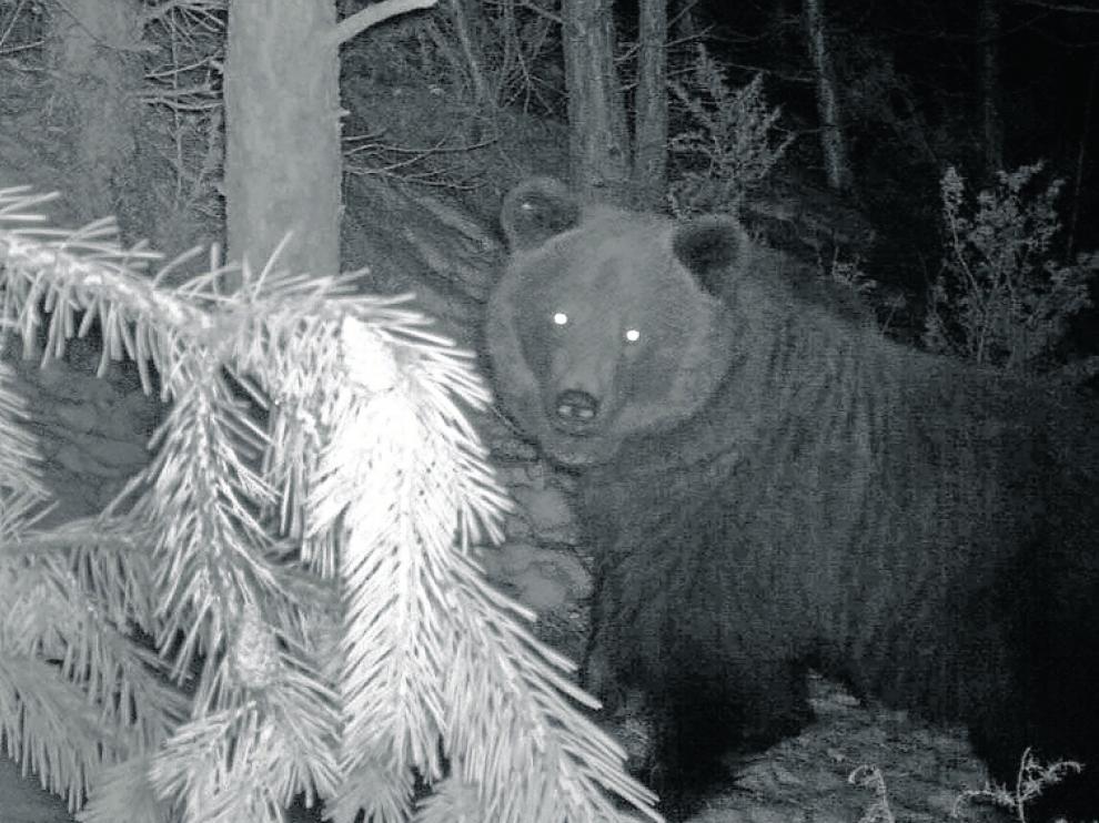 Sarousse, una hembra, tiene su área de campeo en la Ribagorza.