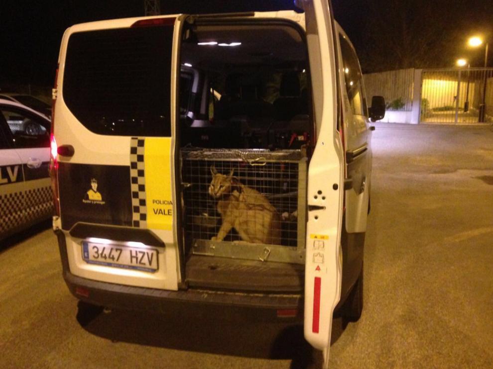 Imagen del lince, de 21 kilos, capturado por la Policía valenciana.