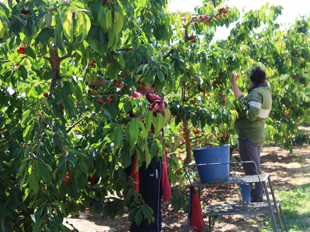 Dos temporeros recogían cerezas el viernes en una finca de los hermanos Copons.