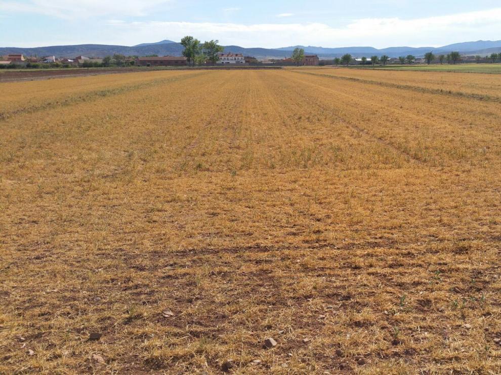 Situación de los campos de cereal de invierno de la zona turolense de Jiloca, ayer.