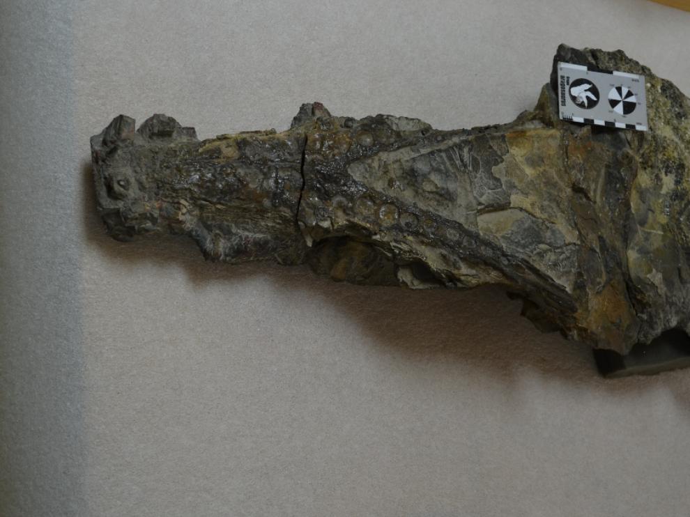 Cráneo del cocodrilo de Ordesa dentro de una roca.