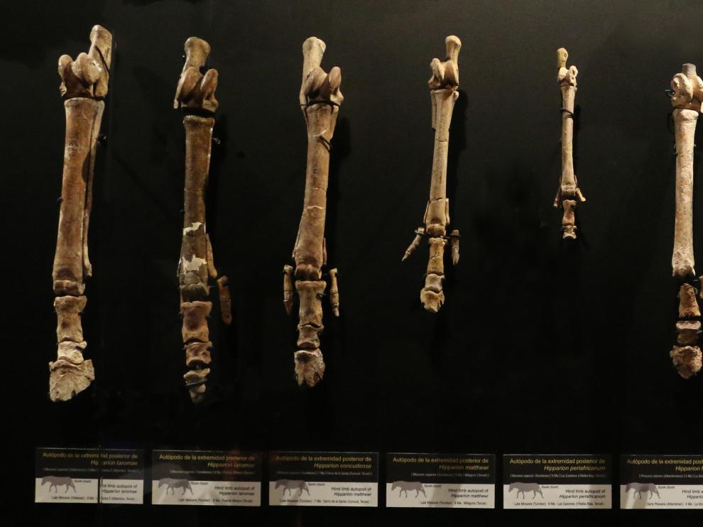 Diversidad de formas y tamaños de los équidos turolenses