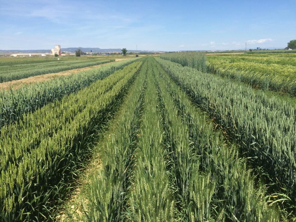 Fincas donde se realizan los ensayos de semillas certificadas.