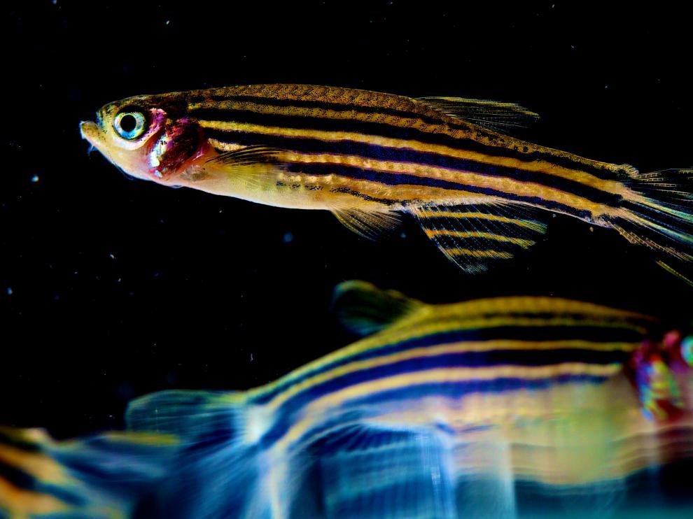 Los genomas de un pez cebra y un humano coinciden en un 80%