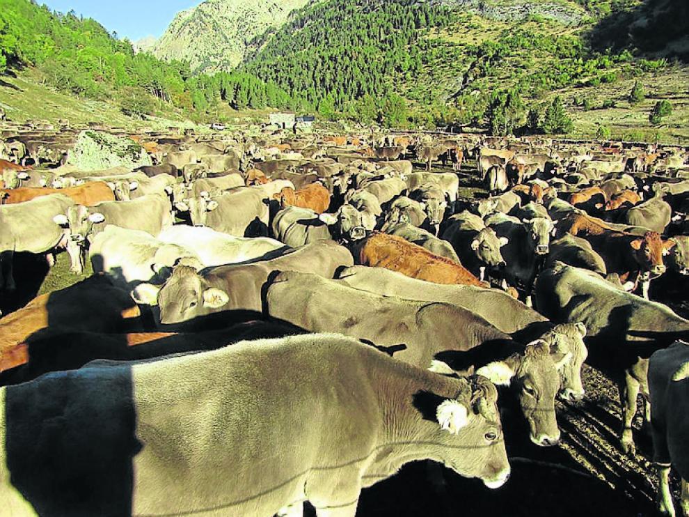 Bajada de las vacas de los montes de Estós.