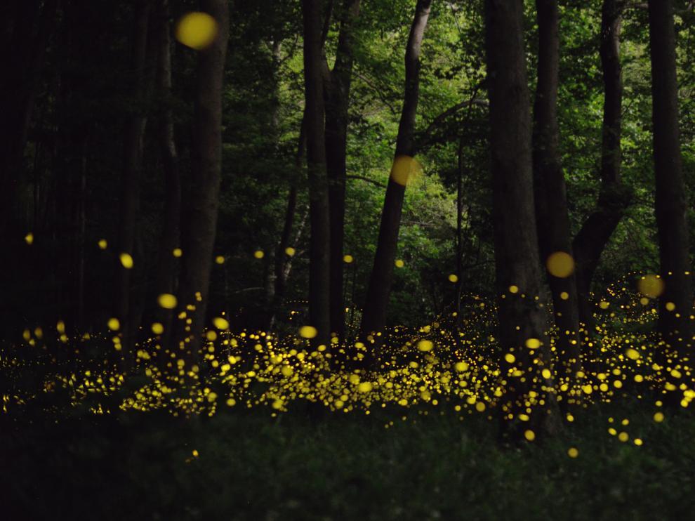 Cientos de luciérnagas en un bosque.