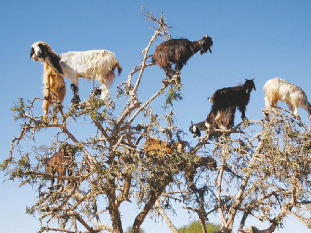 Desde lo alto de las ramas, las cabras rumian el alimento y escupen las nueces de argán