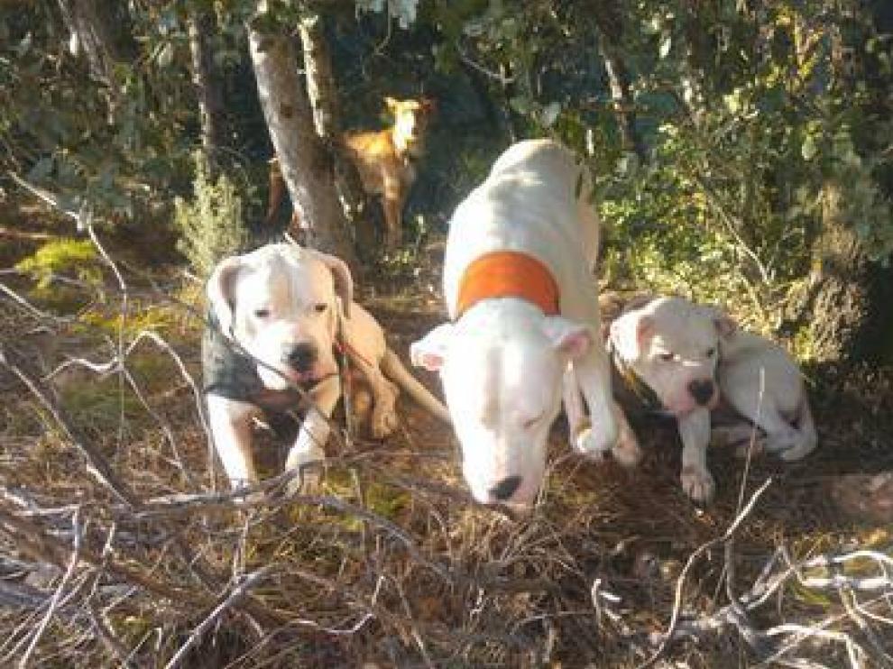 Escena de caza con dogos argentinos.