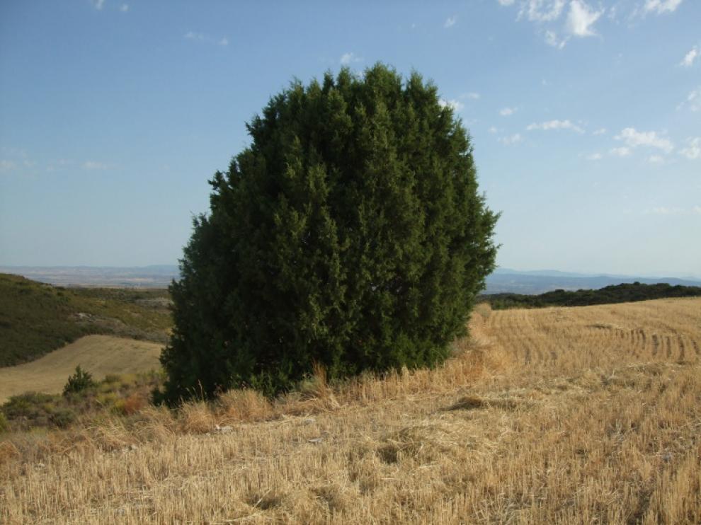 La sabina albar se ubica en el monte de Valdemanza.