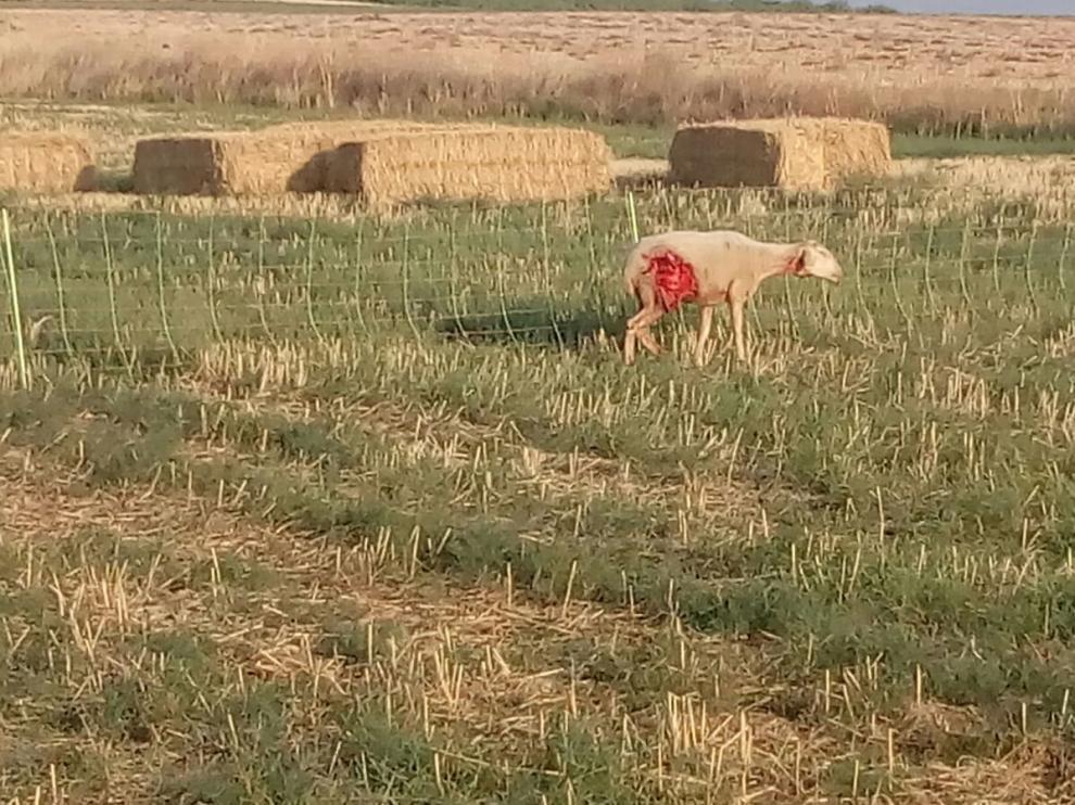 Una oveja que fue atacada por el lobo también en Perdiguera el pasado sábado.