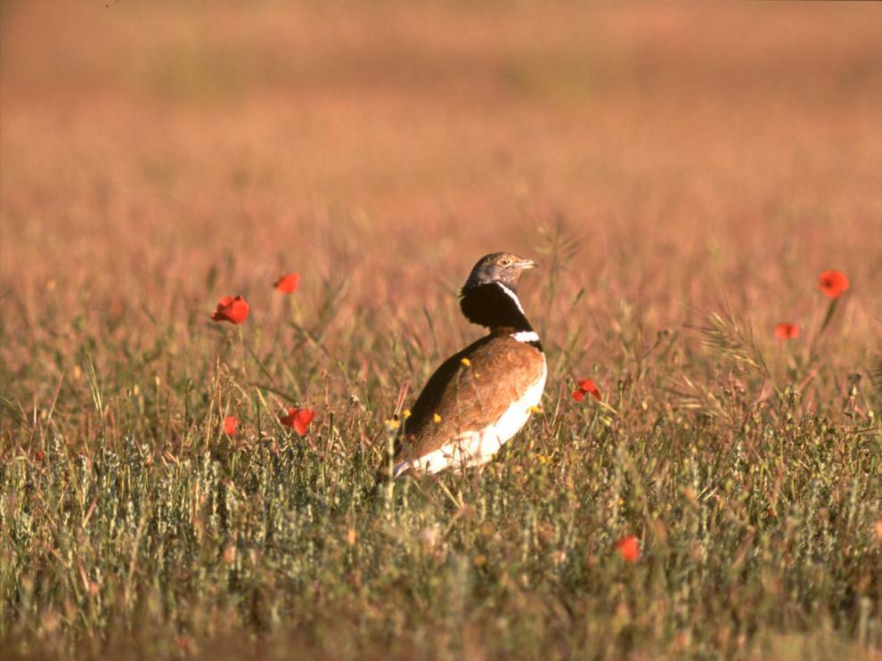 El sisón, un ave en peligro por el estado de su hábitat en Aragón