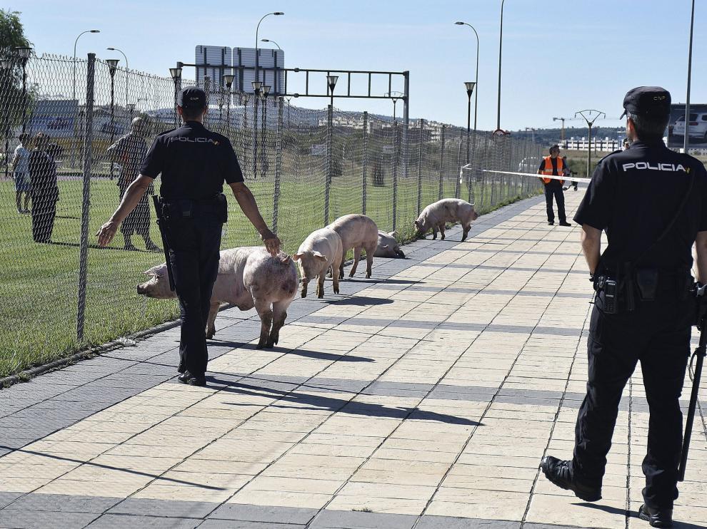 Varios animales sueltos en la SO-20 tras el vuelco de un camión con cerdos en Soria
