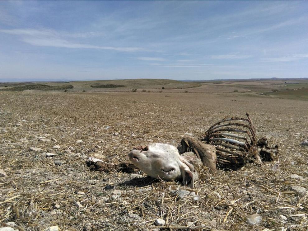 Nueve ovejas muertas, en un nuevo ataque del lobo en Perdiguera