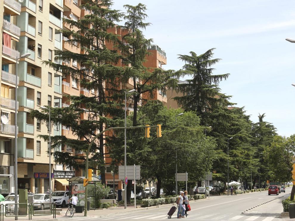 Un informe determinará el futuro de los cedros en el nuevo paseo de Ramón y Cajal.