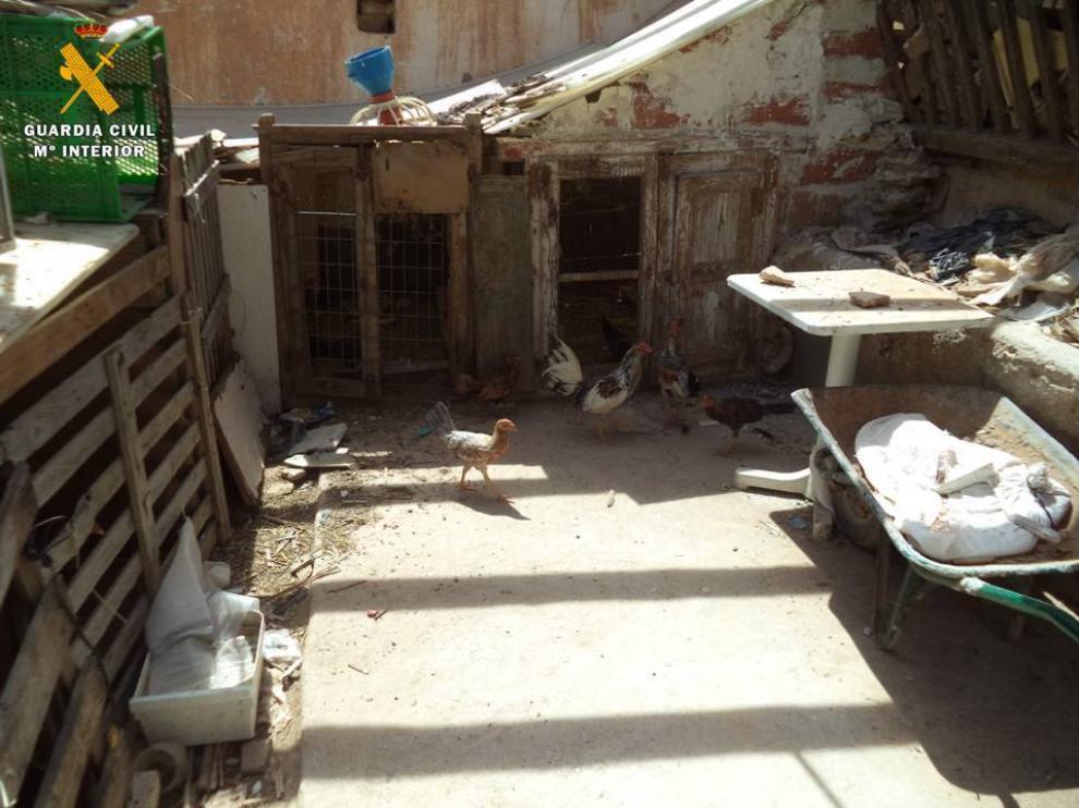 Gallos utilizados para peleas, en el interior de la finca de Pedrola.