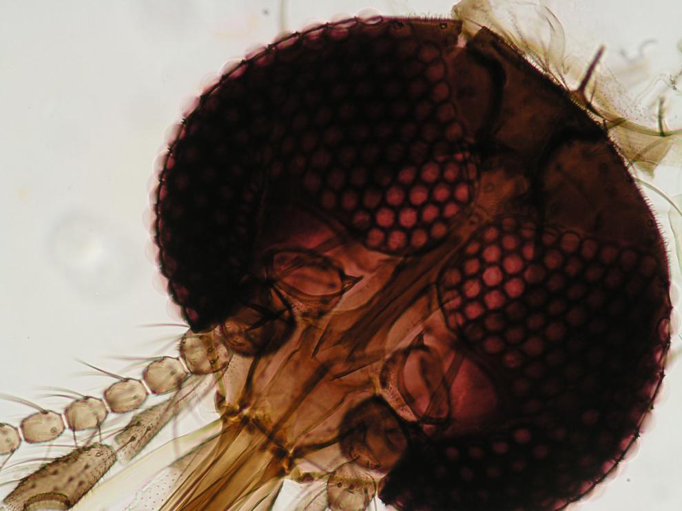 Detalle de la cabeza del mosquito Culicoides (CSIC).