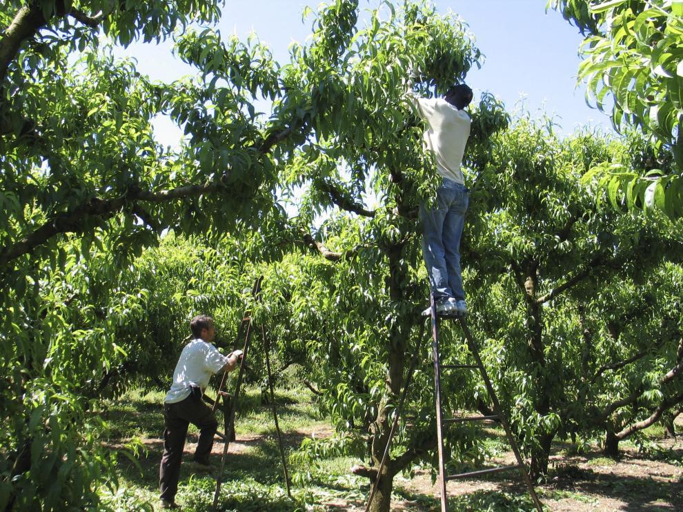 Unos trabajadores en una explotación de melocotones en la provincia de Huesca.