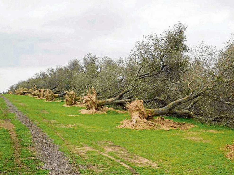 Árboles infectados por 'Xylella fastidiosa', arrancados por los agricultores para evitar la propagación.