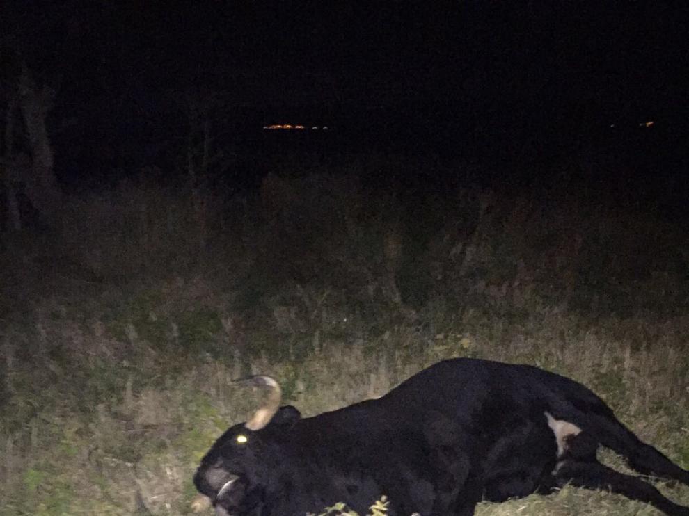 Abatido el toro que huyó el viernes durante un encierro en las fiestas de Novallas